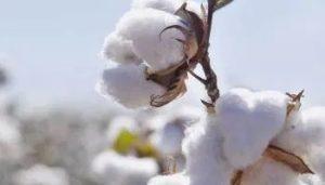 production de coton au togo